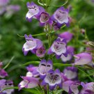 Penstemon xmexicali Carillo Purple 72 perennial plants Beard tongue Zone 5-9