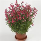 Penstemon xmexicali Carillo Red 72 perennial plants Beard tongue Zone 5-9