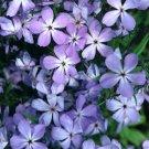 Phlox divaricata ssp laphamii 72 perennial plants Woodland Phlox Zone 4-8