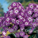 Phlox Laura (72) perennial plants USA grown Tall Garden Phlox Zone 4-8 FLOWERS