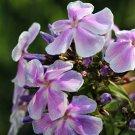 Phlox paniculata Franz Schubert 72 plants lavender white Tall Garden Zone4-8