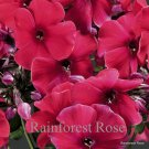 Phlox paniculata Peacock Cherry Red (72) starter plants wholesale Zone 4-8