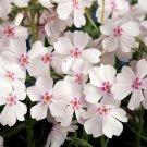 Phlox subulata Amazing Grace 72 perennial plants USA grown Moss Phlox Zone 2-9