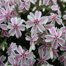 Phlox subulata Candy Stripe 72 perennial plants USA grown Moss Phlox Zone 2-9