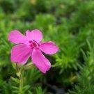 Phlox subulata Drummonds Pink 72 perennial plants Moss Phlox Zone 2-9