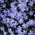 Phlox subulata Emerald Blue 72 perennial plants Moss Phlox Zone 2-9