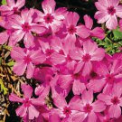 Phlox subulata Red Wings 72 plants plug tray WHOLESALE Moss Phlox Zone 2-9