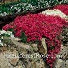 Phlox subulata Scarlet Flame 72 plants tray WHOLESALE Moss Phlox Zone 2-9