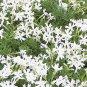 Phlox subulata Snowflake 72 plants plug tray WHOLESALE Moss Phlox Zone 2-9