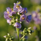 Polemonium boreale Heavenly Habit 72 plants USA grown Zone 3-7