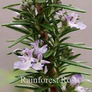 Rosemary officinalis Barbeque 72 plants bulk perennials Rosmarinus  Zone 7-9