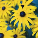 Rudbeckia fulgida Goldsturm 128 plants +tray WHOLESALE 1999 WINNER Zone 3-10
