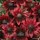 Rudbeckia hirta Cherry Brandy (72) lot plants wholesale bulk  Zone 3-10 FLOWERS
