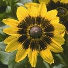 Rudbeckia hirta Denver Daisy 72 plants Black-Eyed Susan Zone 3-10 FLOWERS