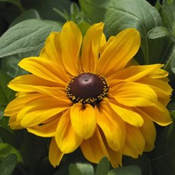 Rudbeckia hirta Tiger Eye Gold 72 plants Black-Eyed Susan Zone 3-10 FLOWERS