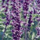 Salvia farinacea Evolution 72 plants Meadow Sage violet flowers Zone 8-10