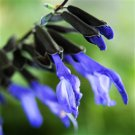 Salvia guaranitica Black and Blue 72 plants Meadow Sage flowers Zone 7-10