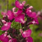 Salvia Heatwave Sparkle (72) plants Meadow Sage Zone 6-10 wholesale lot