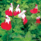 Salvia Hot Lips (72) plants wholesale Compact Meadow Sage Zone 7-9 FLOWERS