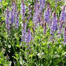 Salvia nemerosa Blue Hills (72) plants Meadow Sage Zone 3-8 USA grown