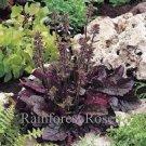 Salvia lyrata Purple Knockout (72) plants wholesale perennial  Zone 5-9 FLOWERS