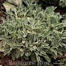 Stachys Silver Carpet (50) plants Product USA perennial Lamb's Ear Zone 4-8