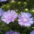Stokesia laevis Mels Blue 50 perennial plants USA grown Stokes Aster Zone 5-9