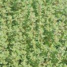 Thymus Hi Ho Silver 72 plants USA Creeping Thyme Zone 5-9 silver variegation