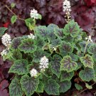 Tiarella American Trail Appalachian Trail 72 plants USA Foam Flower Zone 4-9