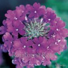 Verbena Homestead Purple 72 perennial plants Product USA Vervain Zone7-11