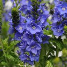Veronica austriaca Venice Blue 72 Speedwell plants wholesale Zone 5b-9