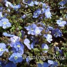Veronica Georgia Blue (72) plants wholesale bulk Speedwell Zone 4-8 FLOWERS
