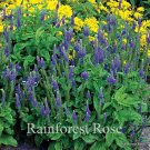 Veronica spicata Sunny Border Blue (72) starter plants wholesale  Zone 4-8