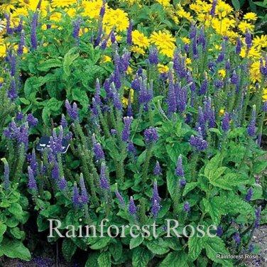 Veronica spicata Sunny Border Blue (72) starter plants wholesale  Zone 4-8