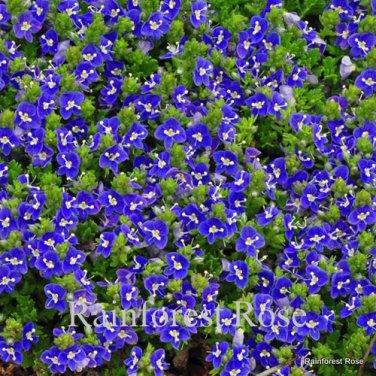 Veronica Tidal Pool (72) perennial plants wholesale Zone 4-8 FLOWERS