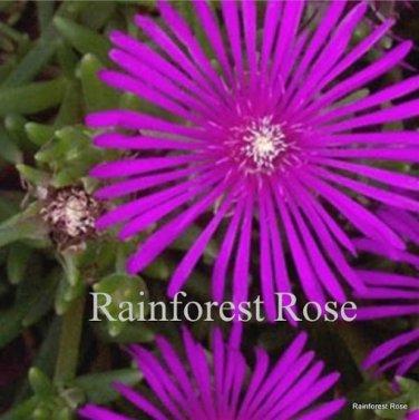 72 Delosperma cooperi PURPLE plants USA grown ice plant tray Zone 6-10