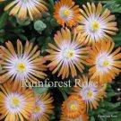 72 Delosperma Jewel of Desert Topaz ORANGE WHITE Ice Plants Zone 5-10