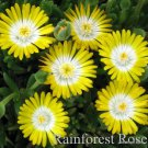 72 Delosperma YELLOW WHITE Peridott USA grown bulk Ice Plants Zone 5-10