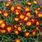 72  Delosperma Wheels of Wonder Fire Wonder Ice Plants Zone 5-10