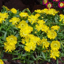 72 Delosperma Wheels of Wonder Golden Wonder Ice Plants Zone 5-10