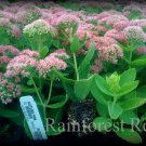 Sedum spectabile Autumn Fire 72 plants Product USA cactus succulents Zone 3-9