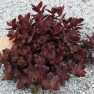 Sedum Sunsparkler Cherry Tart (72) succulents cactus hardy Stonecrop Zone 4-9