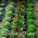 50 Sempervivum 5 best unique varieties cactus succulents plants Zone 3-9