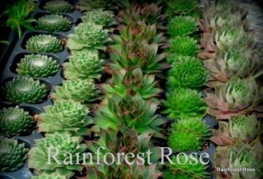 50 Sempervivum 5 best unique varieties cactus succulents plants Zone 3-9