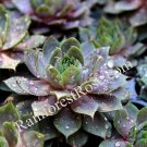 50 Sempervivum Desert Bloom Krebs 2 plants USA grown succulents Zone 3-9