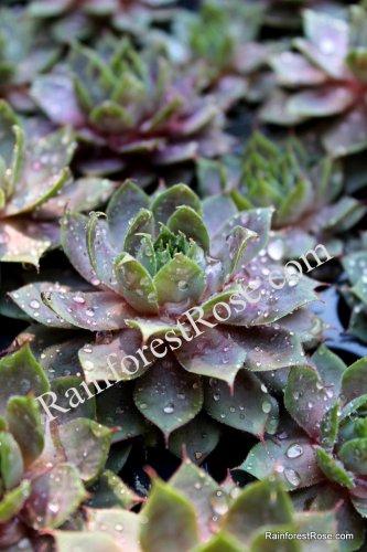50 Sempervivum Desert Bloom Krebs 2 plants USA grown succulents Zone 3-9