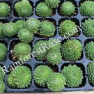 50 Sempervivum Green Wheel plants USA grown succulents hens chicks Zone 3-9