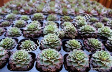 50 Sempervivum Moss Rose plants cactus succulents tray lot bulk Zone 5-8