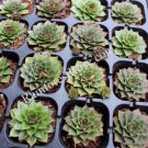 50 Sempervivum Red Rubin plants cactus succulents hens and chicks Zone 3-9
