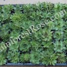 72 plugs Sempervivum plants Hardy Mix variety Cactus Succulents cuttings